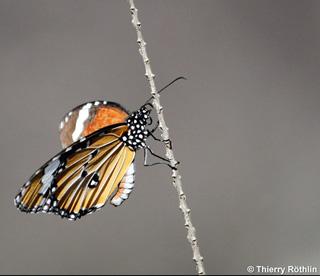 Petit monarque. Papillon de la Réunion.