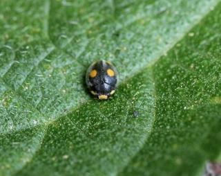 Platynaspis capicola.
