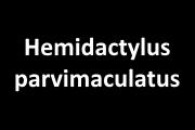 Hemidactylus parvimaculatus Deraniyagala, 1953