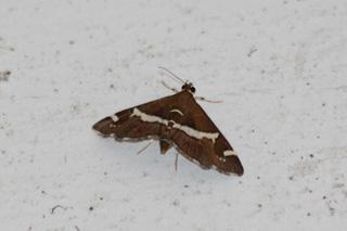 Spoladea recurvalis. Papillon de La Réunion.