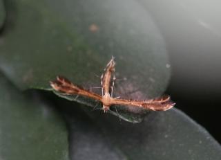 Stenodacma wahlbergi. Papillon de La Réunion.