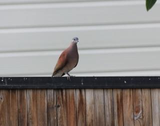 Nesoenas picturata. Tourterelle malgache ou Pigeon ramier.