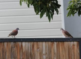 Nesoenas picturata. Oiseau de La Réunion.