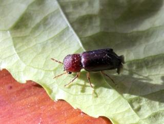 Xylopsocus capucinus. Bostrychidé des bois et du manioc.
