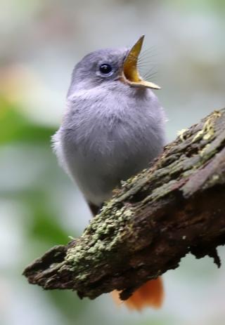 Oiseau la Vierge ou Gobe mouches de paradis ou Zoiseau la Vierge. Terpsiphone bourbonnensis.
