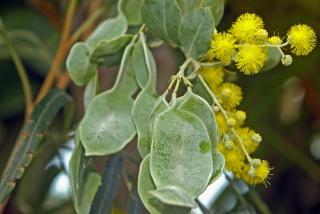 Acacia podalyriifolia, fleurs et gousses.