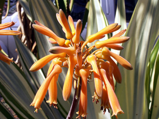 Aloe arborescens Mill.