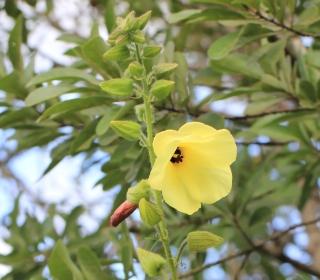 Abelmoschus manihot (L.) Medik.