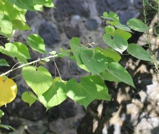 Abutilon exstipulare (Cav.) G. Don.