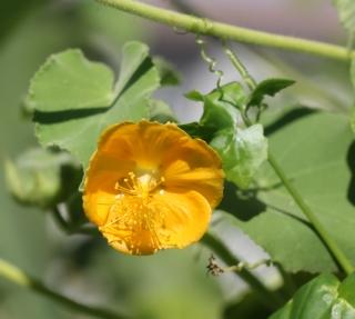 Abutilon hirtum (Lam.) Sweet.