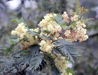 Fleurs Acacia mearnsii.