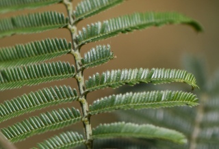Feuilles Acacia mearnsii.
