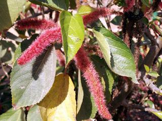 Acalypha hispida Burm. f.