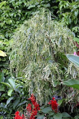 Acalypha godseffiana hort. Sander ex Mast. cv. Heterophylla.