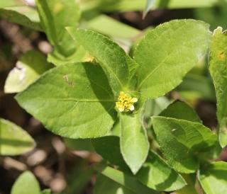 Acanthospermum hispidum DC. Fleurs.