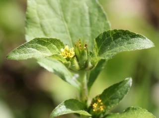 Acanthospermum hispidum DC. Feuille et fleurs.