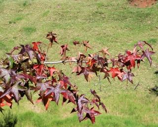 Acer palmatum Thunb. Feuilles.