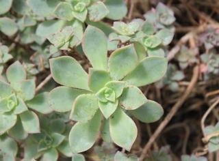 Aeonium decorum Webb ex Bolle.