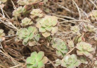 Aeonium mascaense Bramwell.