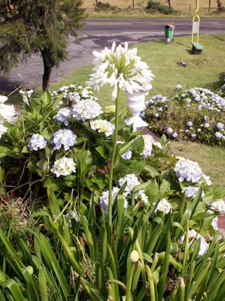 Agapanthe blanche, Lis du Nil. Agapanthus.