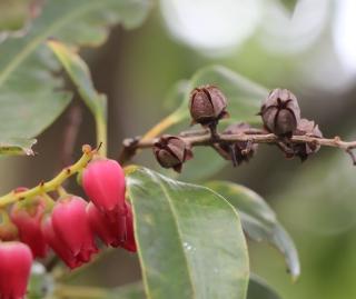 Agarista salicifolia.