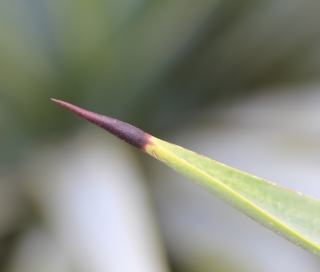 Agave angustifolia Haw.