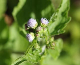 Fleurs Ageratum conyzoides L.