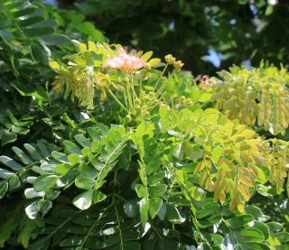 Albizia saman (Jacq.) F. Muell.
