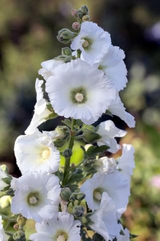 Alcea rosea L. Rose trémière.