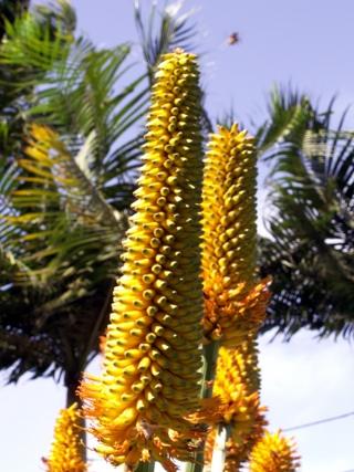 Aloe ferox Mill.