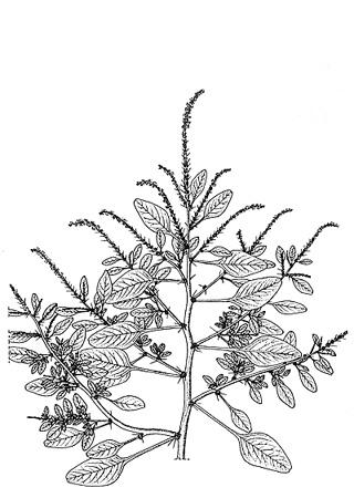 Amaranthus spinosus L. Amaranthe épineuse, épinard malabar, épinard piquant.