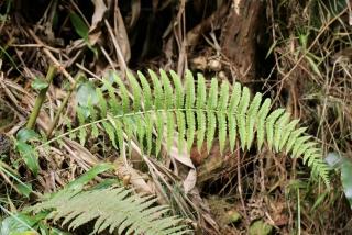 Amauropelta salazica (Holttum) Holttum.