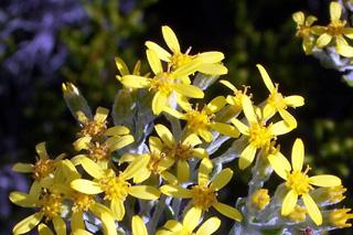 Ambaville blanc ou petit ambaville ou Ambaville blanche. Hubertia tomentosa. Flore endémique de La Réunion.