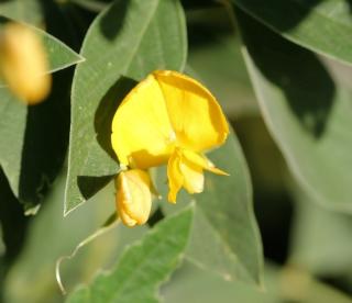 Fleur jaunes : Cajanus cajan (L.) Millsp.