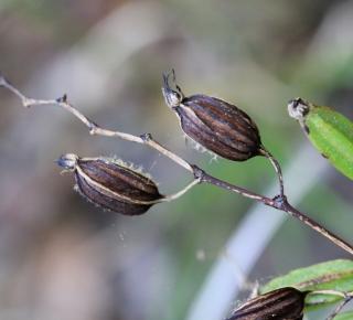 Angraecum calceolus Thouars.
