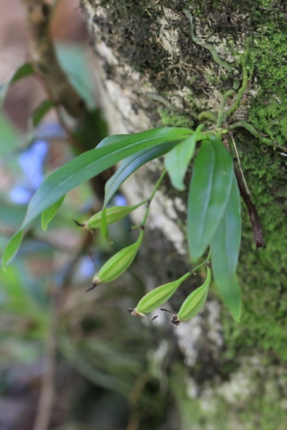 Angraecum caulescens Thouars.