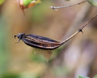 Angraecum expansum Thouars.