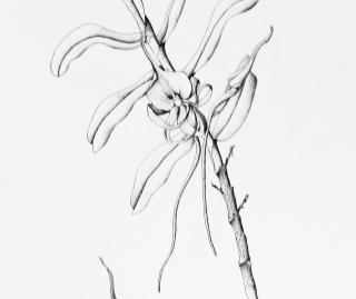 Angraecum germinyanum Hook. f.