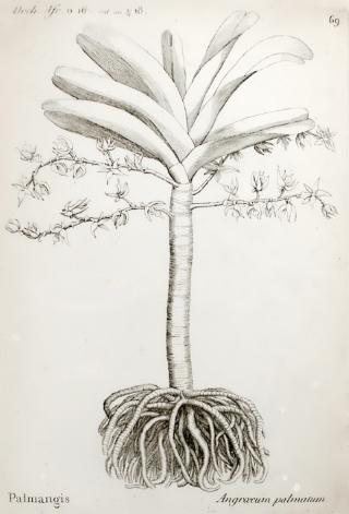 Angraecum palmiforme Thouars.