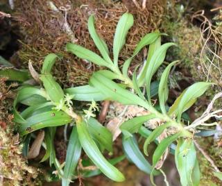 Angraecum undulatum (Cordem.) Schltr.