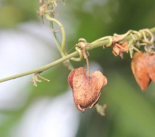 Antigonon leptopus Hook. et Arn. Fruit.