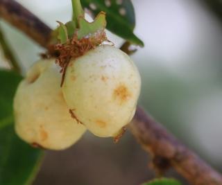 Aphloia theiformis. Fruit.