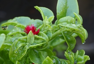 Fleur : Aptenia cordifolia. Apténie cordée.