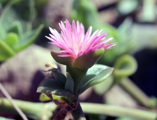 Fleur : Apténie cordée.