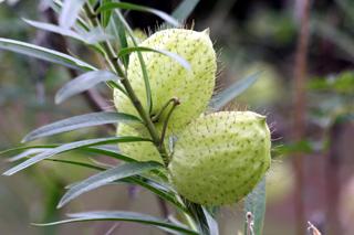 Gomphocarpus physocarpus E. Mey.
