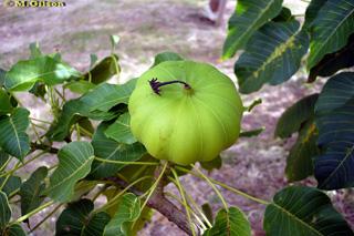 Hura crepitans L. Fruit.