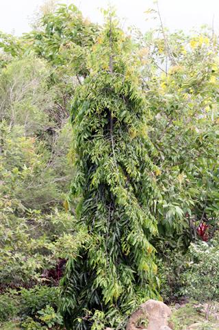 Arbre mât, Faux ashoka. Polyalthia longifolia.