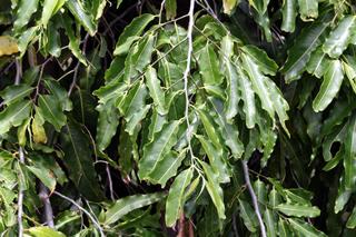 Polyalthia longifolia (Sonn.) Thwaites.