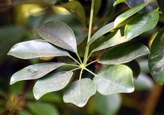 Schefflera arboricola (Hayata) Merr.