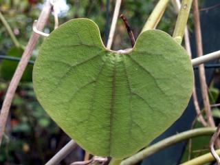 Aristolochia ringens Vahl.
